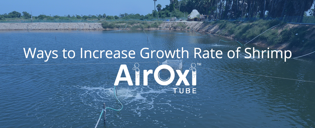 Ways to Increase Growth Rate of Shrimp-AirOxi Tube